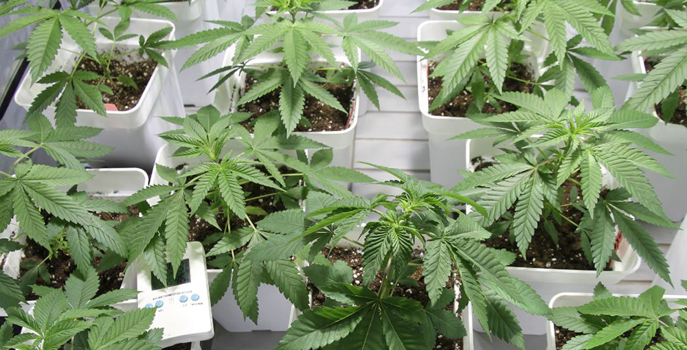 semi di cannabis femminizzati indoor