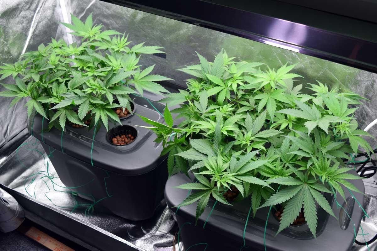 Coltivazione Idroponica di Cannabis: vantaggi e caratteristiche