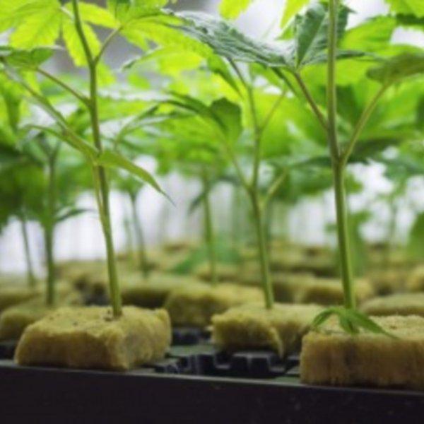 Talee di Cannabis, come clonare le piante di Canapa