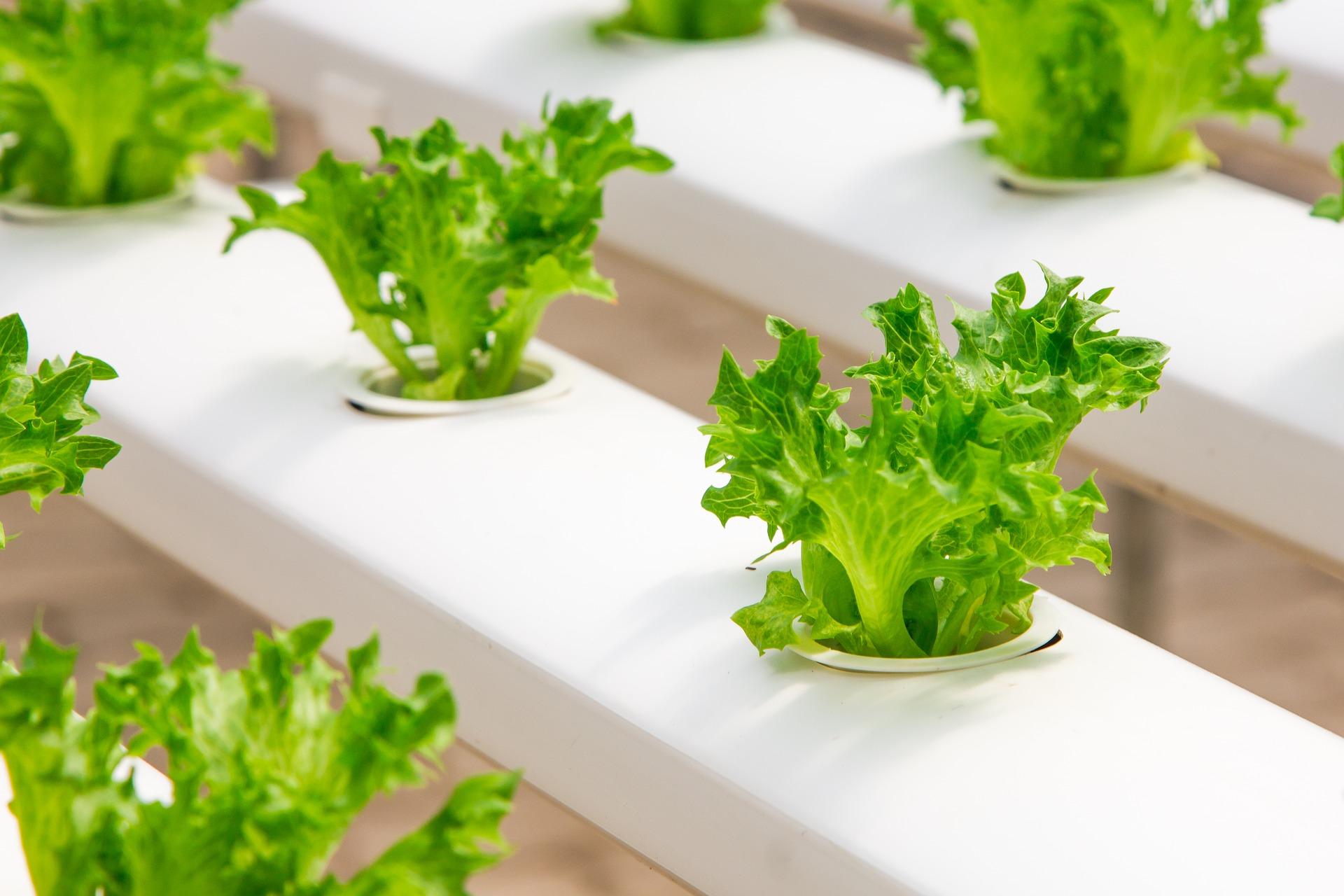 Colture idroponiche per ortaggi