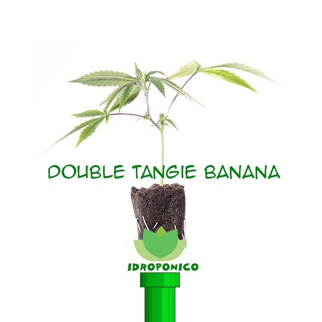 Talee di Canapa Double Tangie Banana
