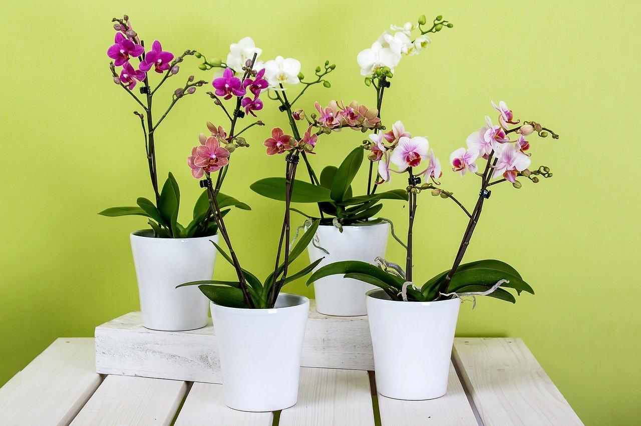 cura orchidea vaso