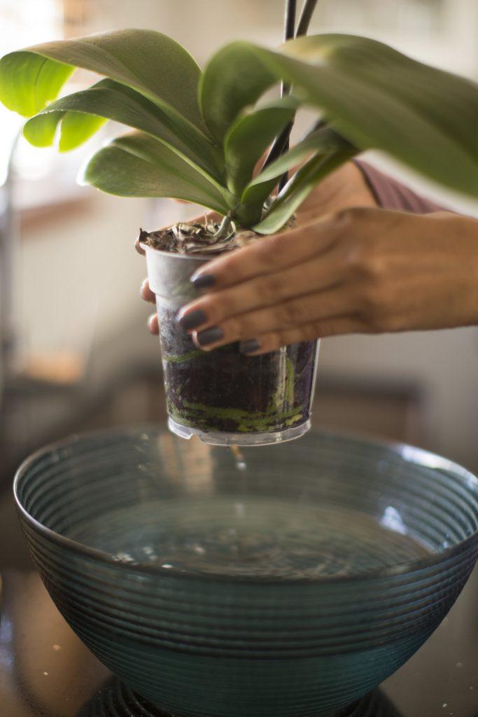 innafiare orchidea immergendola
